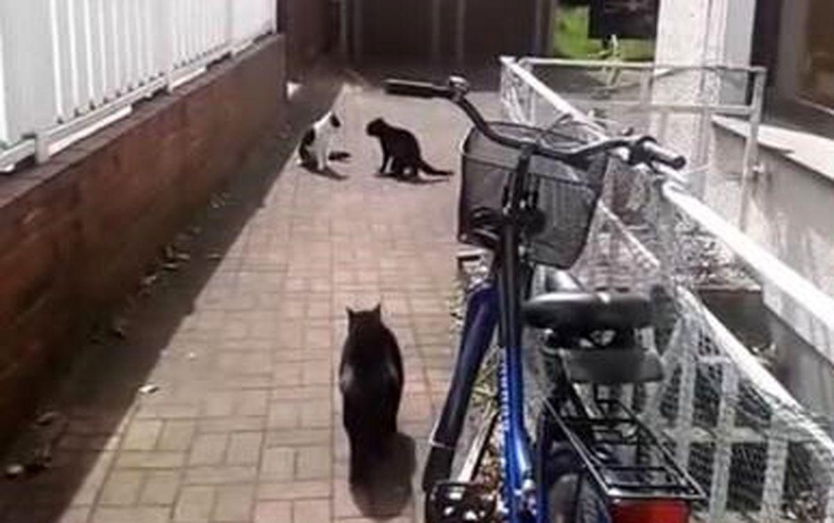 دفاع جنجالی یک گربه از خواهرش در مقابل  مزاحم+فیلم دیدنی