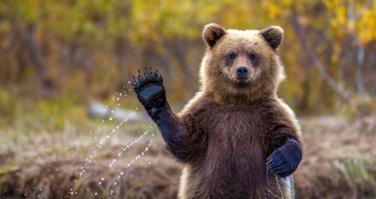 ماجرای عجیب کشتار خرس قهوهای بدست زن و مرد روستایی